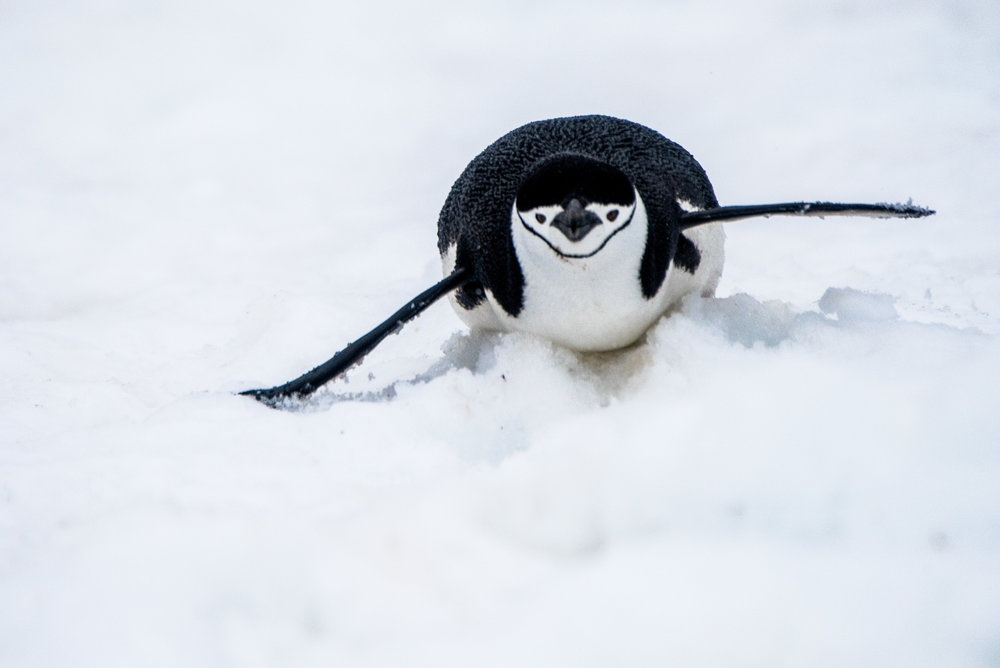 AntarcticaNovember2016-Penguins-2302.jpg