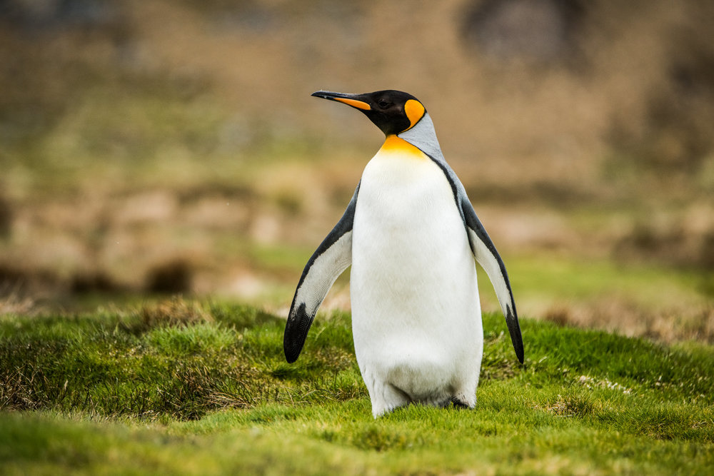 AntarcticaNovember2016-Penguins-5986.jpg