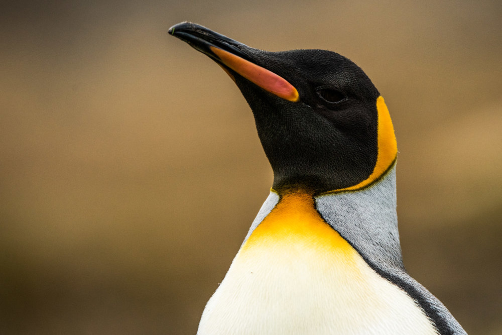 AntarcticaNovember2016-Penguins-6050.jpg