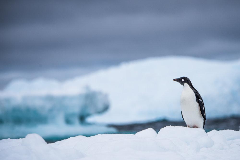 AntarcticaNovember2016-Penguins-9562.jpg