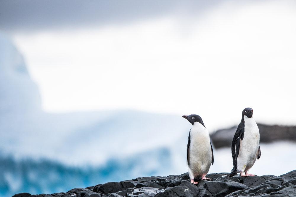 AntarcticaNovember2016-Penguins-9423.jpg