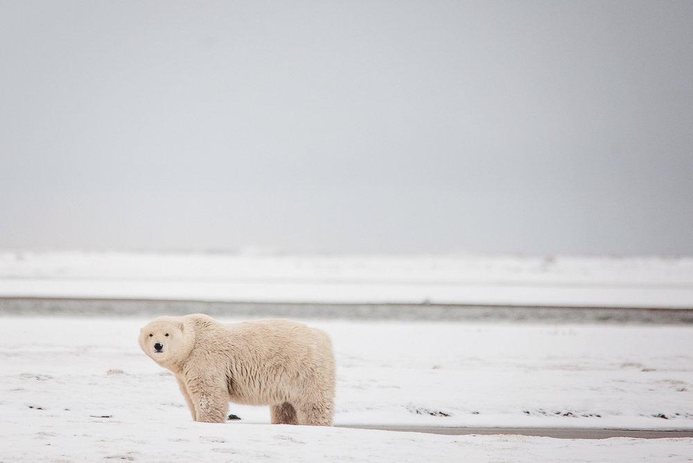 AlaskaPolarBears-Sept2015-1708.JPG