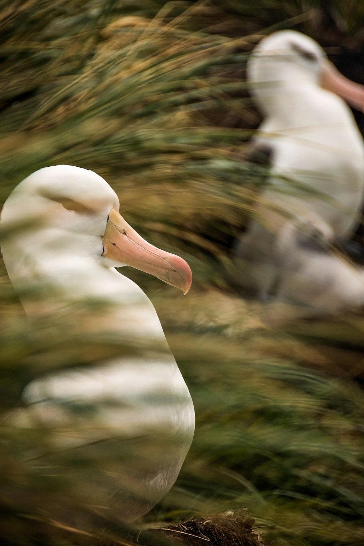 KathleenHertelPhotography-AntarcticaBirds-12.JPG