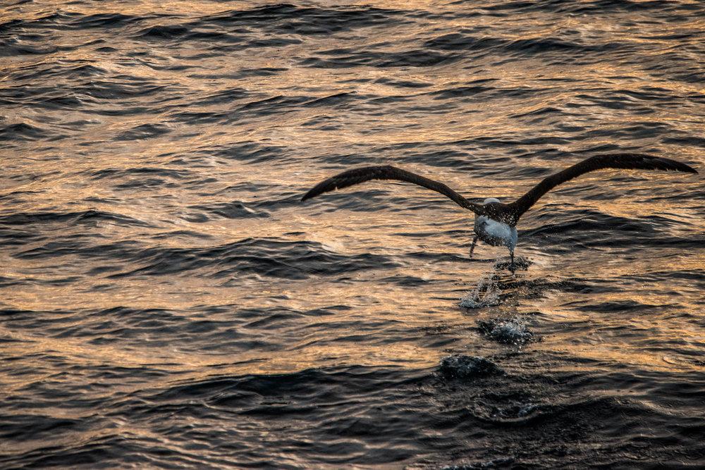 AntarcticaNovember2016-Birds-3108.jpg