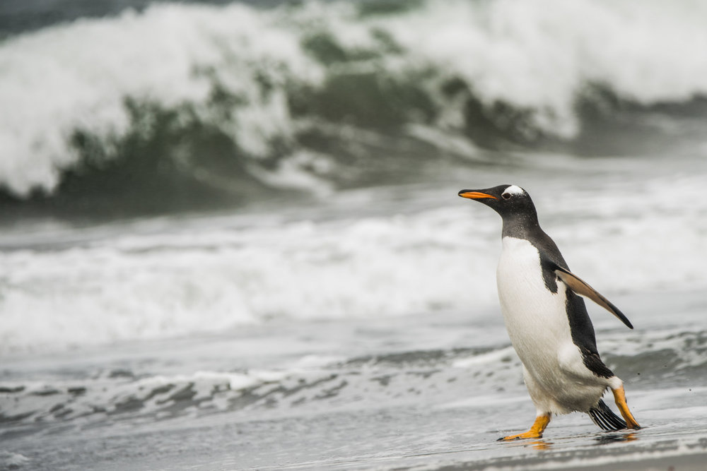 AntarcticaNovember2016-Penguins-3412.jpg