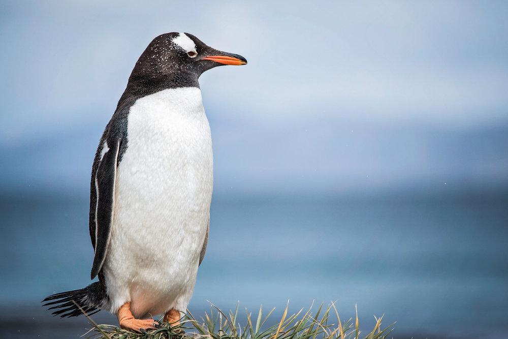 KathleenHertelPhotography-AntarcticaPenguins-40.JPG
