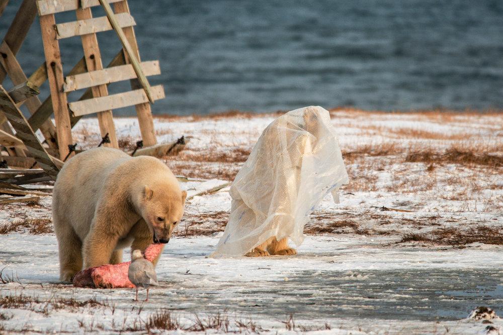 AlaskaPolarBear2015-204.jpg