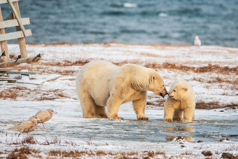 AlaskaPolarBear2015-222.jpg