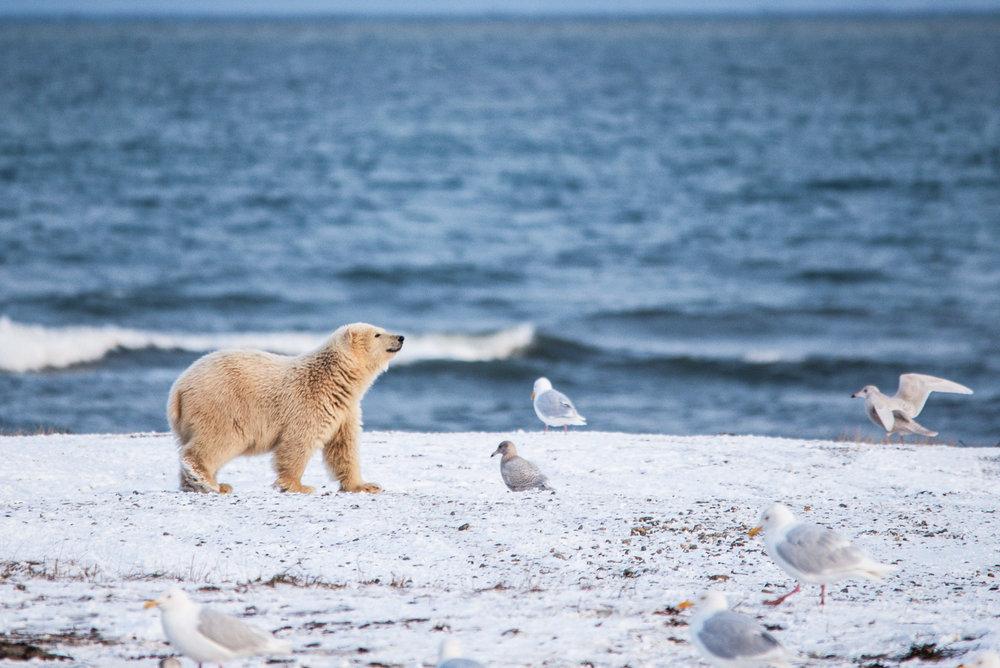 AlaskaPolarBear2015-232.jpg