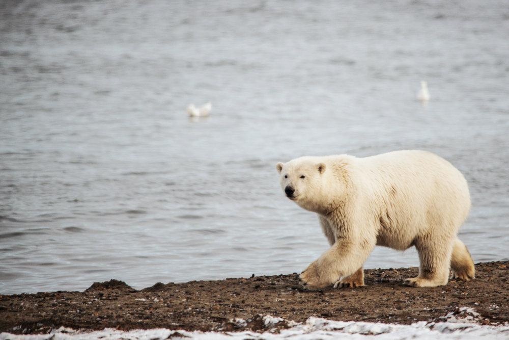 AlaskaPolarBear2015-247.jpg