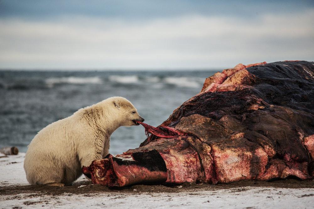 AlaskaPolarBear2015-255.jpg