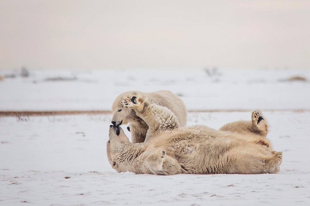 AlaskaPolarBears-Sept2015-1693.JPG