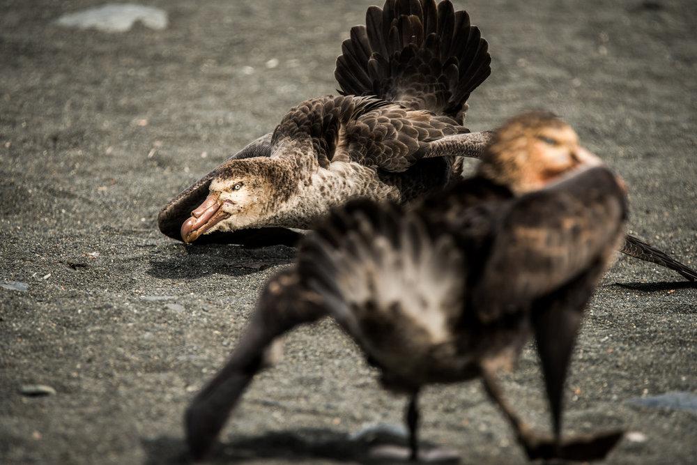 AntarcticaNovember2016-Birds-7322.jpg