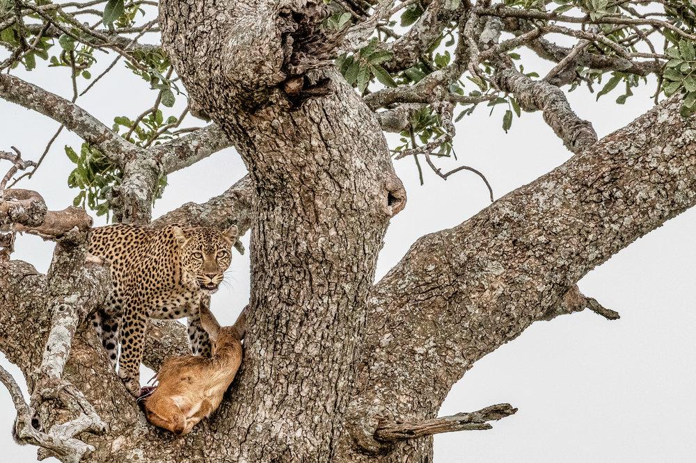 Serengeti2018-Leopard-52.jpg