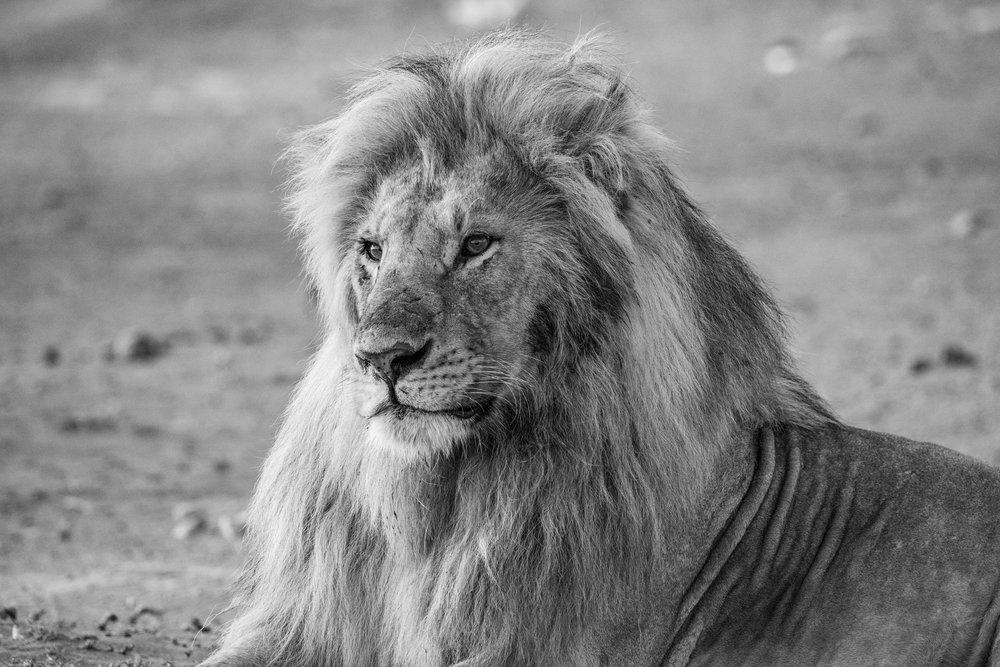 Serengeti2018-Lion-208.jpg