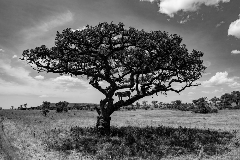 Serengeti2018-Lion-209.jpg