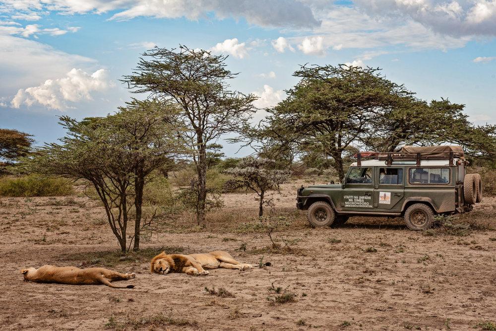 Serengeti2018-Lions-23.jpg