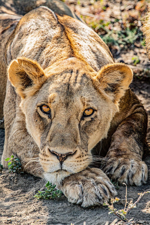 Serengeti2018-Lions-27.jpg