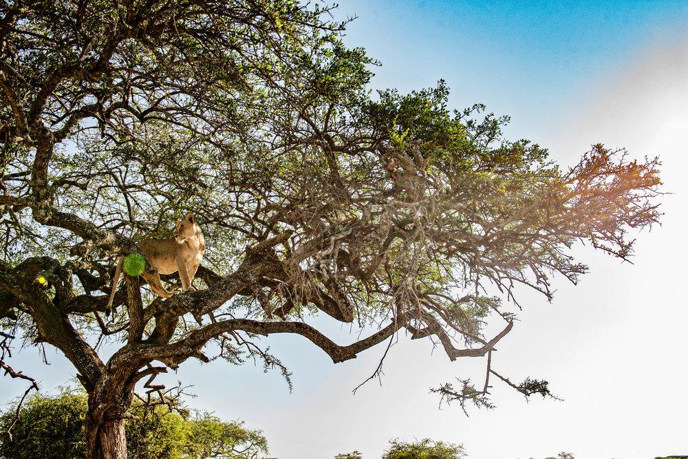 Serengeti2018-Lions-5.jpg