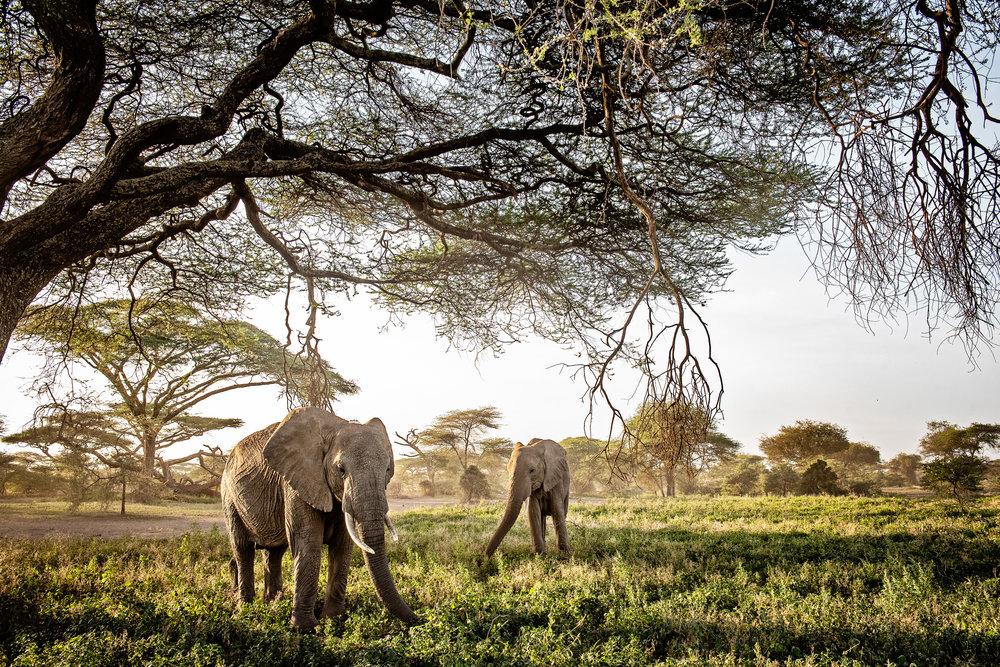 Serengeti2018-Elephants-10.jpg