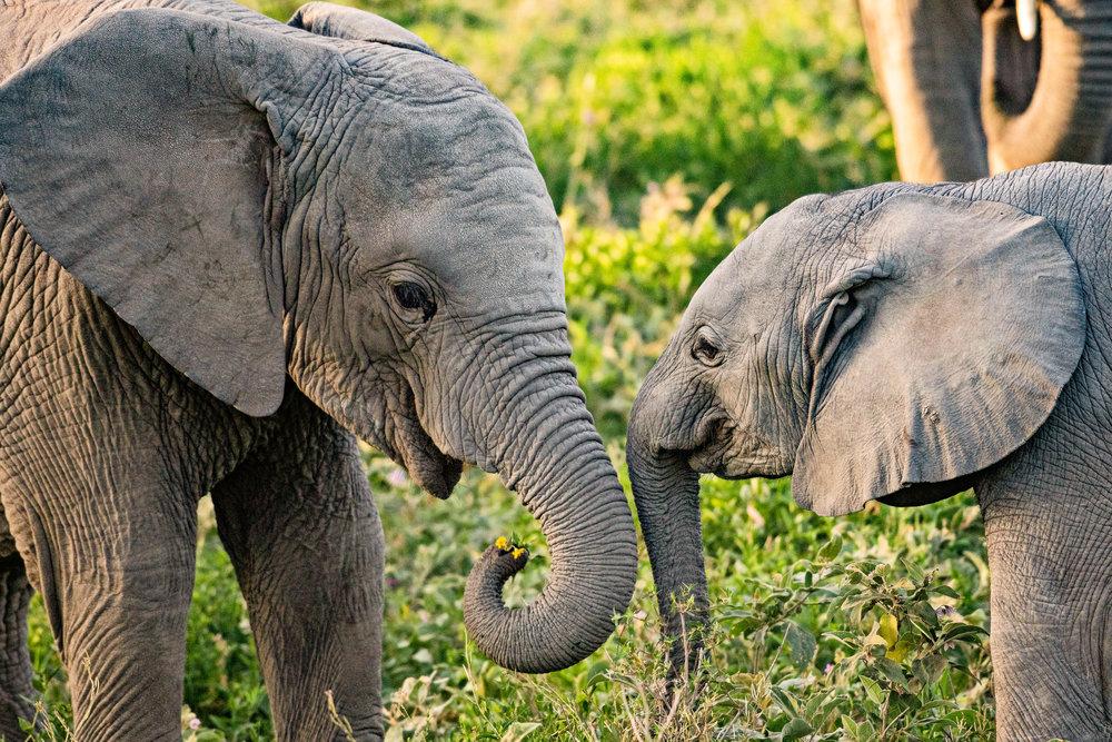 Serengeti2018-Elephants-31.jpg