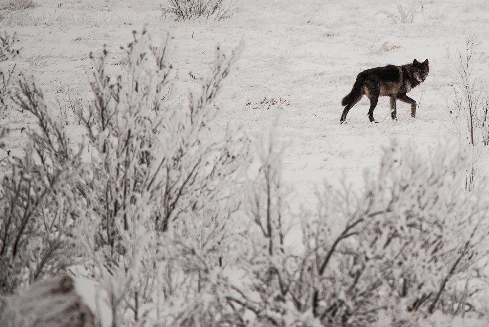 AlaskaPolarBear2015-389.jpg