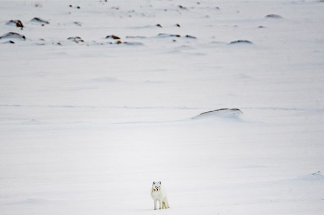 These little white arctic foxes will follow polar bears while they migrate north. They are able to eat the scraps the bears leave behind. #foxes #arctic wildlife
