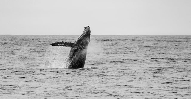 It's international whale day! Ever since I was a little thing I loved whales. A few years ago I had the opportunity to swim with orcas and humpbacks. If you can imagine it was one of the most magical experiences in my life. Being in the water with these creatures and listening to them sing underwater is what I imagine my heaven to be like. #whaleday #humpbacks #whale #oceanbeauty