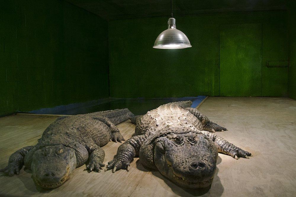 Haley Harrington,  Luray Zoo Alligators , inkjet print