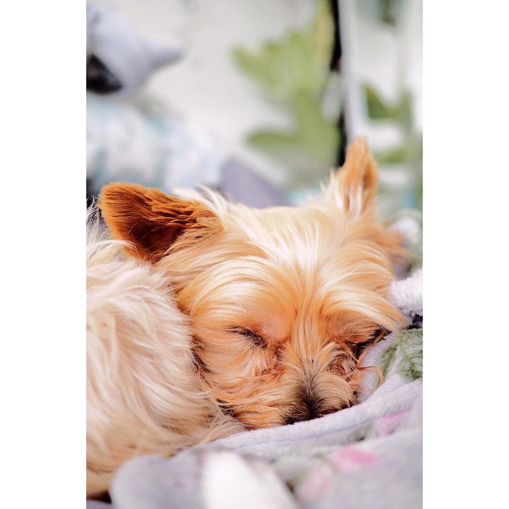 Sleeping winter puppy