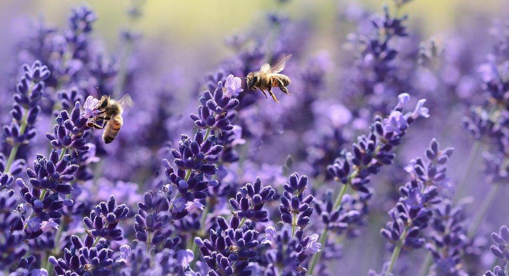 culinary_lavender.jpg