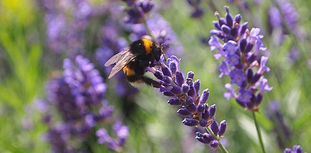 uk_bumblebees.jpg