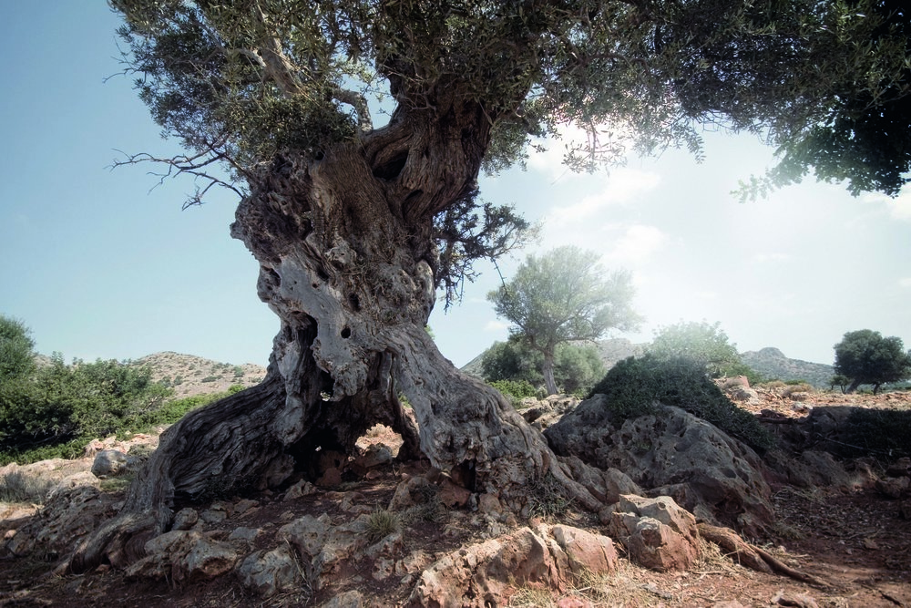 Olivenbaum_Oliveda.jpg