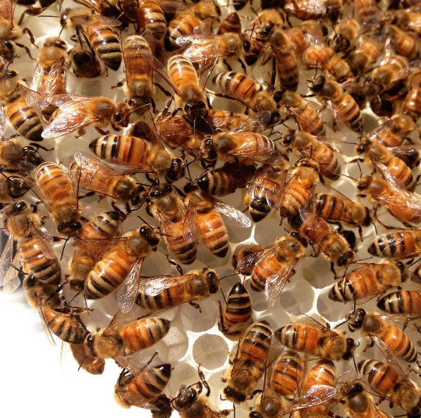 Empress Honey Bees...