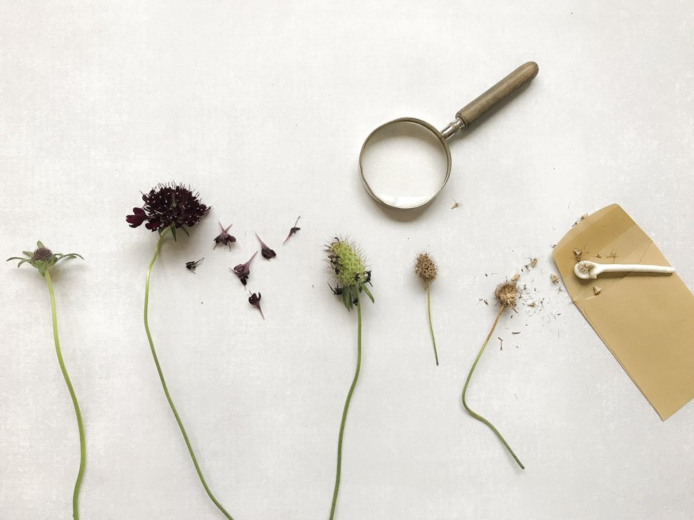 The phases of scabious seed heads