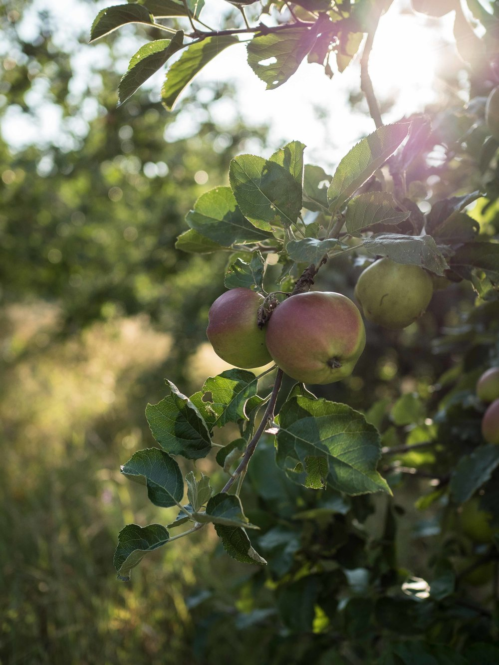 golden hour in the orchard