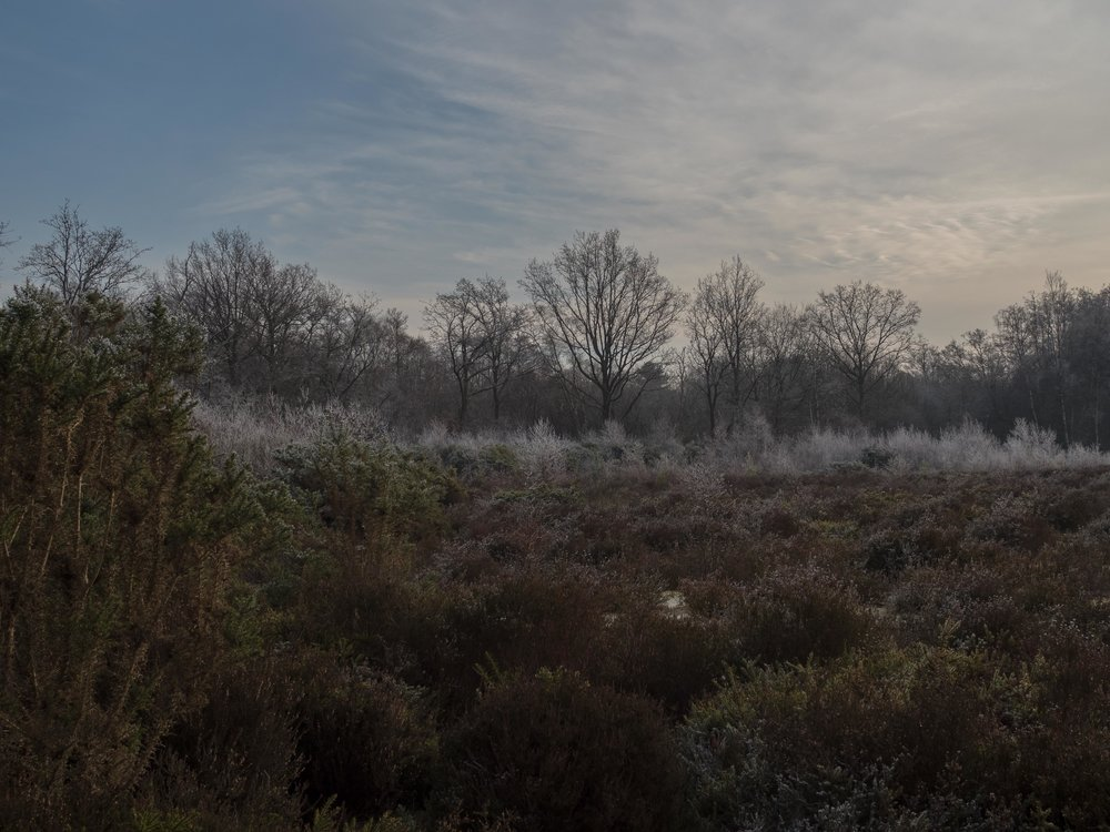 Frosty tops to frozen bushes