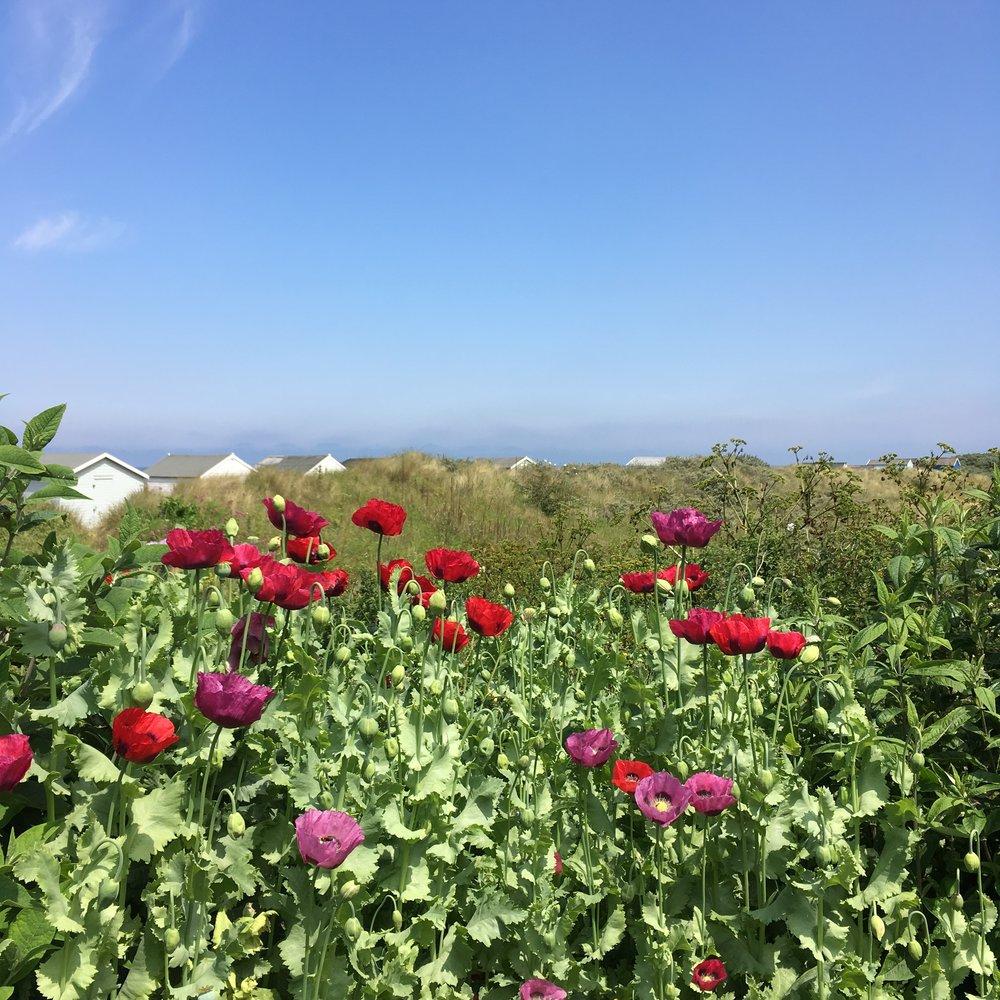 Bold poppies in the sunshine Hunstanton Beach