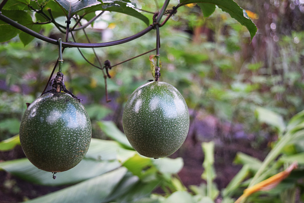 passion fruit permaculture cloud forest
