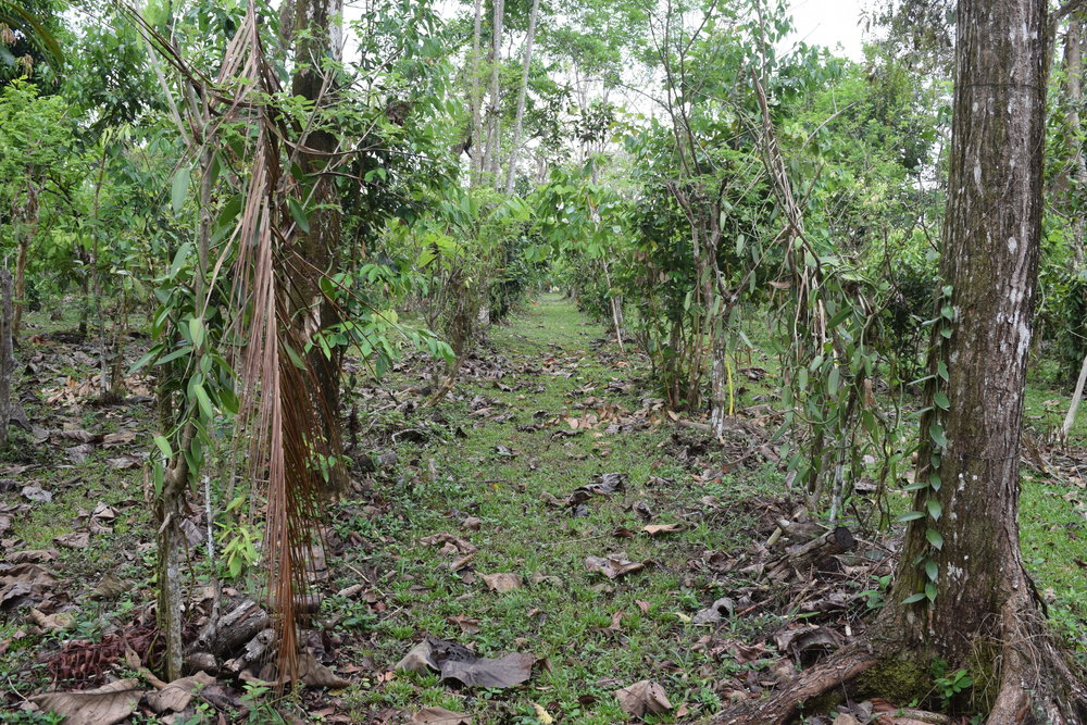 A well cared for vanilla plantation at Villa Vanilla outside of Quepos, Costa Rica.