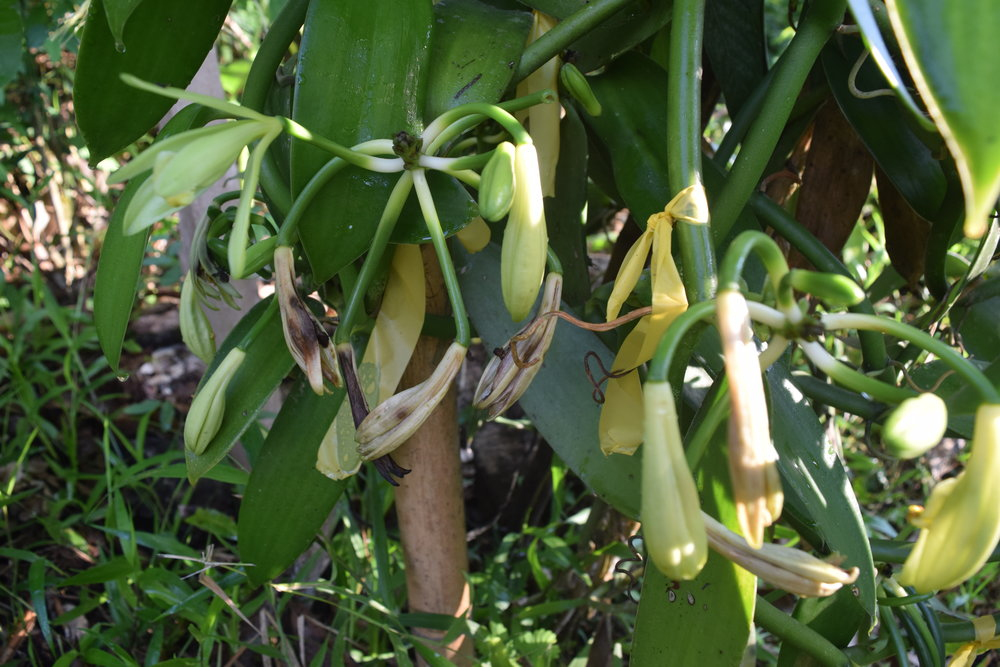 vanilla costa rica permaculture