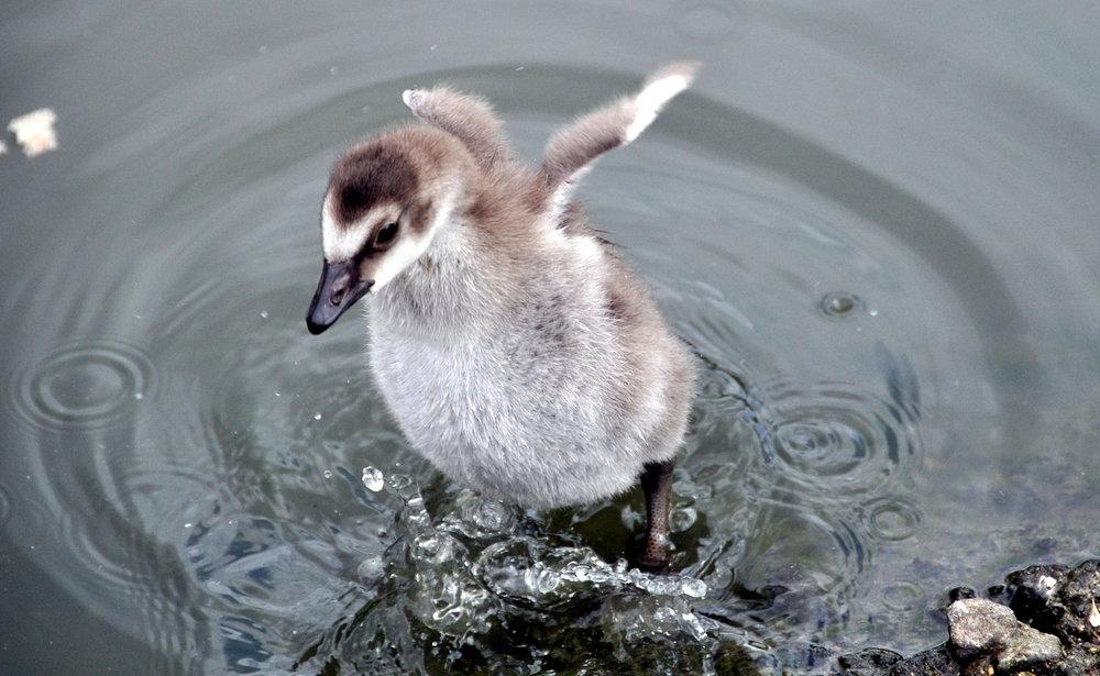 Baby_Wings_(6911909974).jpg