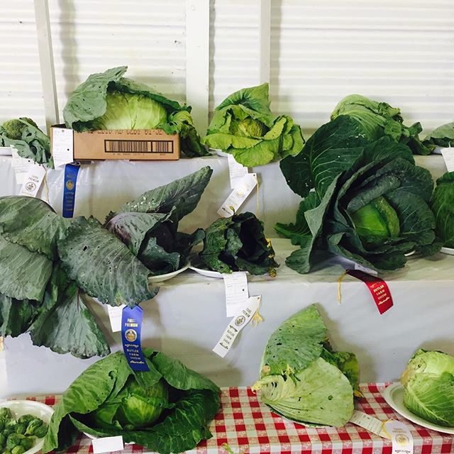 @butlerfarmshow is the week and it's pretty glorious. I've never met a prize cabbage that I didn't like. Or even an honorable mention one. #papreferred #pafarmshow #butlerpa #farming