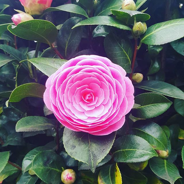 Pretty in pink in my neighbours garden . . . #prettyinpink #spring #pink #flowers #nature #nofilter