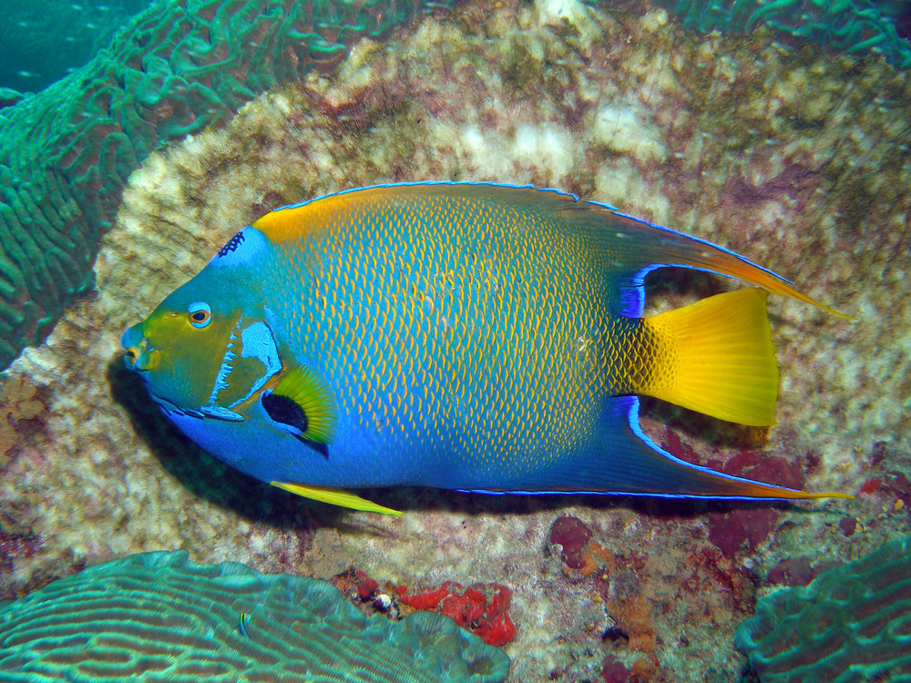 a is for angelfish. queen angelfish add splashes of colour to your dive..jpg