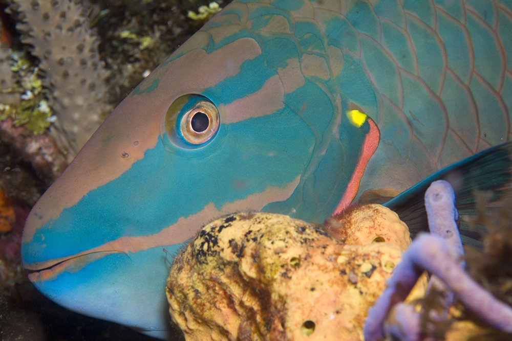 p is for parrotfish. common on reefs in tobago. photo copyright solomon baksh.jpg