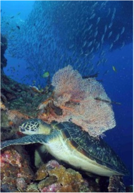 SHARK BANK    This coral reef reaches depth of 135 to 145 feet, and is home to parrotfish and sea turtles.