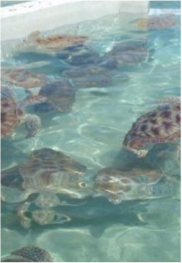 TURTLE FARM    This 23 acres marine park aims to convey the country's passion for turtles, documenting their role in the Cayman Islands' history, as well as the efforts made to protect them. This fun and safe environment offers interactive activities involving not the only the islands' turtles, but plenty other flora and fauna, including the opportunity to swim and snorkel with fish and other marine life in the farm's very own 1.3 million gallon salt-water lagoon.