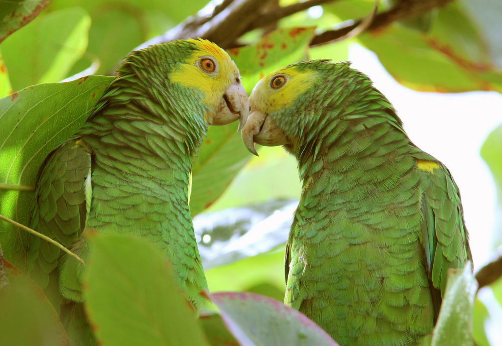 Bonaire-endangered-yellow-shouldered-amazon-parrots.jpg