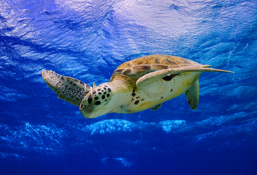 Bonaire-Green-Sea-Turtle.jpg